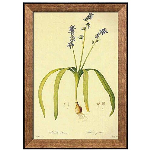 Scientific Illustration of a Flower Inside of a Beautiful Frame Scilla Amoena by Pierre Joseph Redoute Framed Art