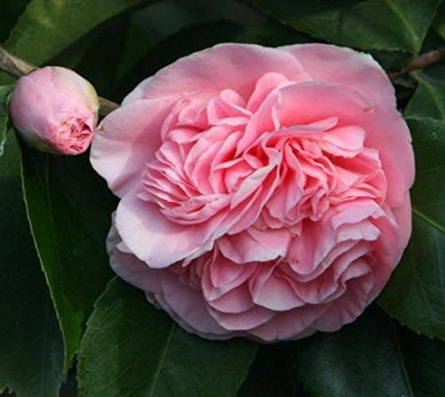 Debutante Pink Camellia Japonica - Live Plant - Quart Pot by Amazing Plants