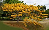 Yellow Royal Ponciana Flamboyant Delonix Regia 20 Seeds