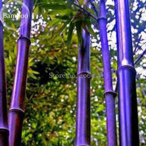 New Rare Purple Bamboo, 30+ Seeds