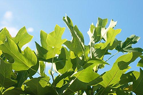 Tulip Poplar - Size:  5-6 ft, live plant, includes special blend fertilizer & planting guide by PERFECT PLANTS (Image #4)