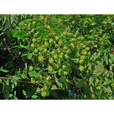 Cutdek EL Dorado HOP Seed Bulk 100 Seeds Tropical/Fruity Flavor Cash Crop Beer : Garden & Outdoor