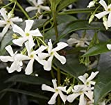 10 Plants...Star Jasmine Vine, LIVE POTTED, Jasminoides, Very Fragrant, 7'' - 12''