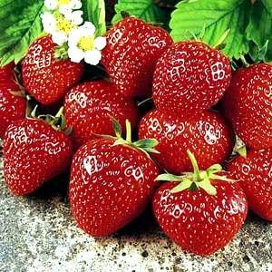 Sweet Charlie Strawberry Fruit Seed - 100 Seeds
