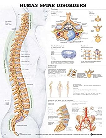 anatomical chart company human spine disorders chart Bone at Top of Spine