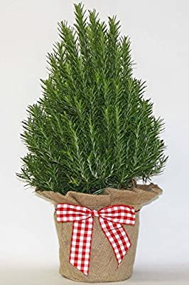 Rosemary Tree in Burlap & Gingham Bow, Aromatic Houseplant, 6.5in Pot