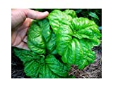 50+ ORGANICALLY Grown Giant Mammoth Basil Seeds Heirloom Non-GMO Fragrant and Flavorful Herb, Unique and Rare, Rich Flavor! US Grown!