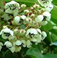 Actinidia Arguta Male, Hardy Kiwi. Live plant to 1'-2' tall