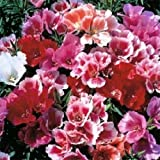 500 Seeds of Godetia Tall Double Mix Flower Seeds