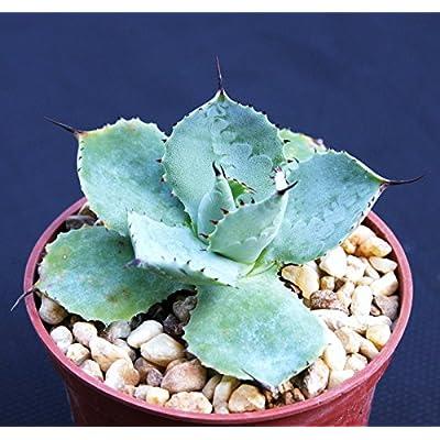 Agave potatorum, exotic rare garden succulent air plant cactus bonsai 4