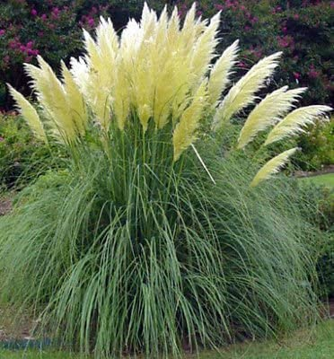 Amazon Com 50 Ornamental Perennial Grass Seeds Pampas Grass