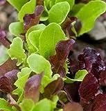 David's Garden Seeds Lettuce Encore Mix DF2366TY (Multi) 500 Organic Seeds