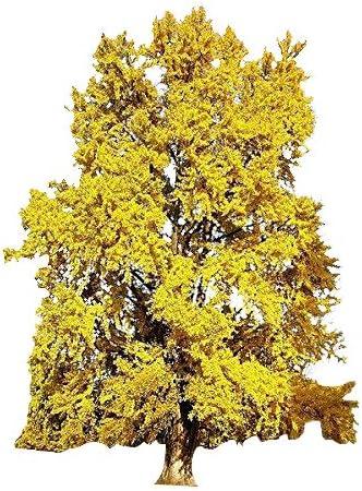 Amazon Com Ginkgo Biloba Maidenhair Tree Seeds Tree Seed Pack