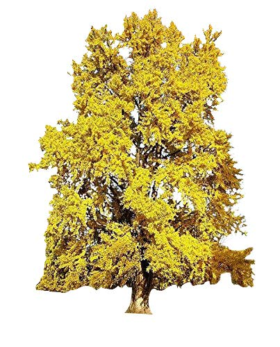 Ginkgo Biloba Maidenhair Tree - Ginkgo Biloba / Maidenhair Tree Seeds Tree Seed Pack, Ginko, Ideal For Bonsai 10