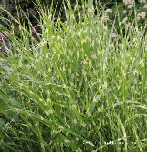 10 Porcupine Grass - Miscanthus sinensis 'Strictus'- Live Plant Ornamental Grass