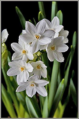 Amazon narcissus ziva paperwhites 10 bulbs 17cm narcissus ziva paperwhites 10 bulbs 17cm mightylinksfo