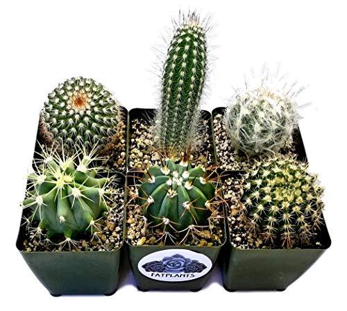 Fat Plants San Diego Large Cactus Plant(s) (6)