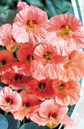 Flower Seeds Nasturtium Double Pink Kroshka Tropaeolum Majus Nanum