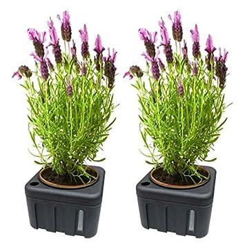 Juego de 2 unidades Plantas Flores dispensador de agua, de riego con memoria de 1