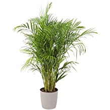 Costa Farms, Premium Live Indoor Areca Palm, Dypsis lutescens, Floor Plant, Gray-Taupe Decorator Pot, Shipped Fresh From Our Farm, Excellent Gift