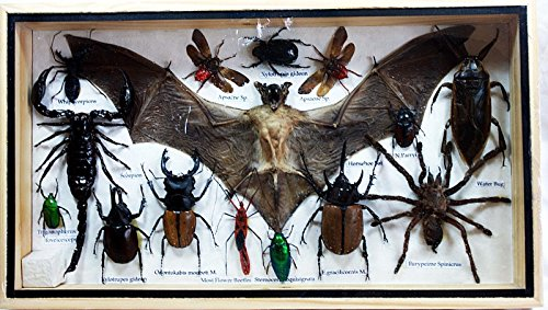 Bat Costume With Umbrella Wings (Real Exotic bat scorpion cicada insect jewel beetle bug taxidermy in Wooden Frame)