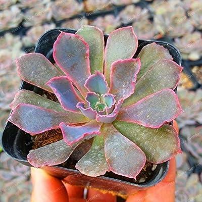 100 Pcs/Bag Echeveria Plant Succulent Rare Lithops Plant Bonsai Flower Plant Potted Plant for Home Garden - (Color: 7) : Garden & Outdoor