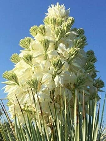 Amazon.com: 1 Yucca Rostrata maceta de 4.0 in tamaño planta ...