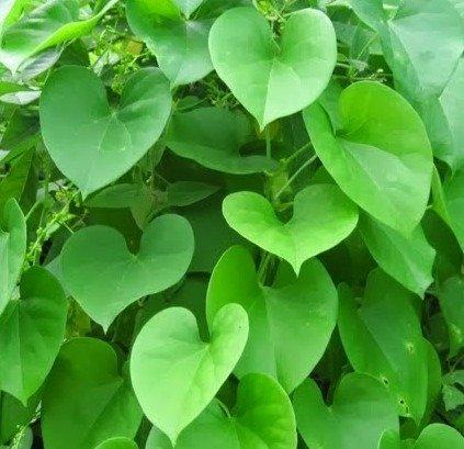 Selpline Giloy, Gulvel - Tinospora Cordifolia Live Plant
