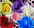 Heirloom 60 Seeds 6 Colors Red Purple Pink Blue White Yellow Rose Perennials Double Flowers Seeds B3006