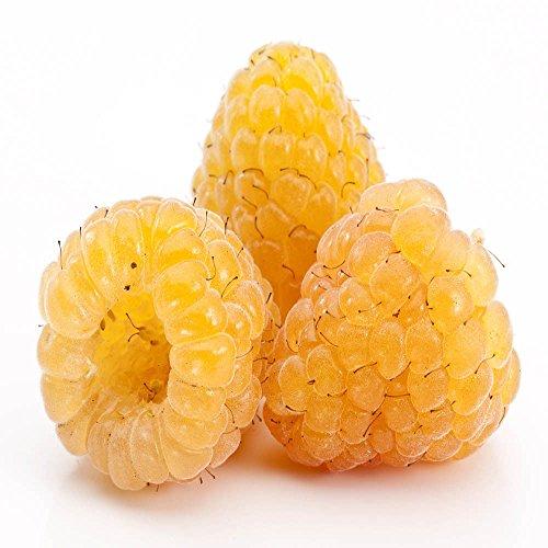 Golden Raspberry - Golden Raspberry - 5 Golden Raspberry Plants - Everbearing - Organic Grown