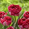 5 Eternal Flame Tulip Bulbs-- Double Late, New!!