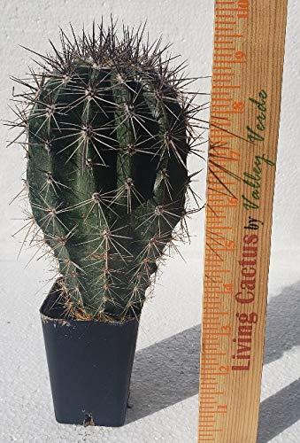Live Saguaro Cactus Medium - Carnegiea Gigantea by Living Cactus by Valley Verde (Image #7)