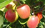 Mini Anna Apple Tree-Produces in warm climates such as California/Florida