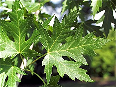 Silver Maple Tree - Acer saccharinum - Heavy Established Roots One Gallon Potted - 1 plant by Growers Solution