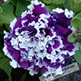 petunia seeds,double petals petunia seeds,Flower bonsai seeds flower plant bonsai indoor petunia petals flower - 200 pcs/lot Seeds