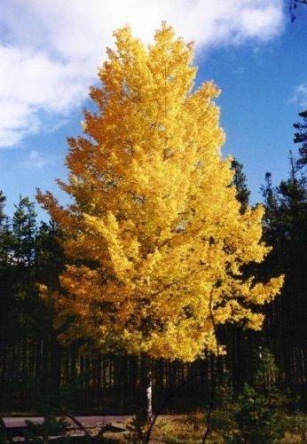 - Populus tremuloides QUAKING ASPEN TREE Seeds!