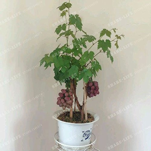 50 Seeds Miniature Grape Vine Seeds Vitis vinifera Organic Fruit Seeds Succulent Plants 10#32789145268ST