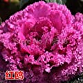 New Arrival! Ornamental kale and cabbage seeds edible garden and family sightseeing apply red and white 30 seeds