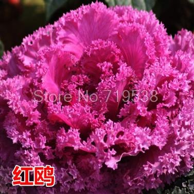(New Arrival! Ornamental kale and cabbage seeds edible garden and family sightseeing apply red and white 30 seeds)