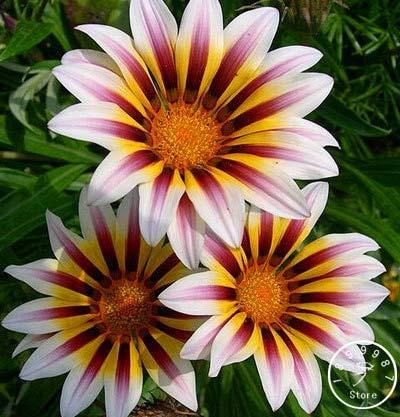 Best Summer Flower in the US -Gazania