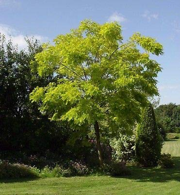 (1 Live Black Locust Tree Seedling 12-24 Inches Robinia Pseudoacacia Fresh )