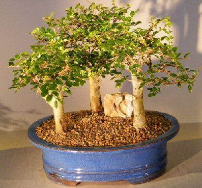 Chinese Elm Bonsai Tree - Aged 3 Tree Forest Group Scene