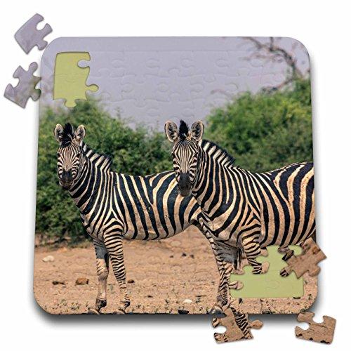 Danita Delimont - Zebras - Botswana. Burchells zebra alert to any predators. - 10x10 Inch Puzzle (Two Burchells Zebras)