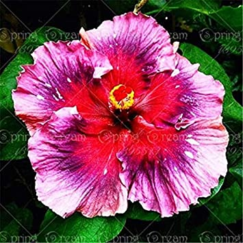 100 Pcsbag Giant Hibiscus Flower Bonsai Plant Indoor Flower
