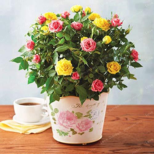 AGROBITS Mix: 100 Pcs/Bag Mini Rose Bonsai Miniature Rose Plant DIY Home Garden ()