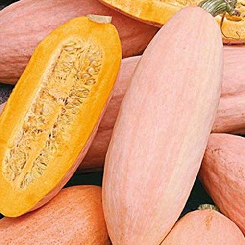Banana Growing Organically - NIKITOVKASeeds - Pumpkin Pink Banana - 10 Seeds - Organically Grown - Non GMO