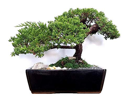 Eve's Extra-Large Japanese Juniper Bonsai Tree, 12 Years Old, Planted in 12 Inch Ceramic Container, Outdoor Bonsai ! ! ! Cannot Ship to CA California ! ! !