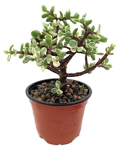 balcony garden plant -Jade