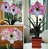 Amaryllis Kit: Apple Blossom + Plastic Pot & Soil - 26/28 cm Bulb - Netherland