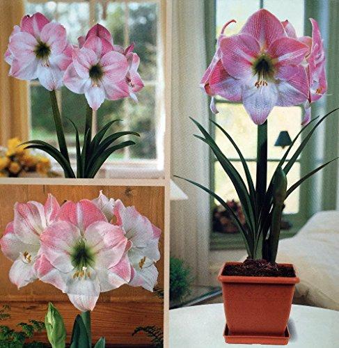 Blossom + Plastic Pot & Soil - 26/28 cm Bulb - Netherland (Amaryllis Bulb Kits)